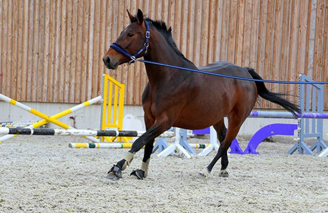 Tethered Horse During Lameness Investigation