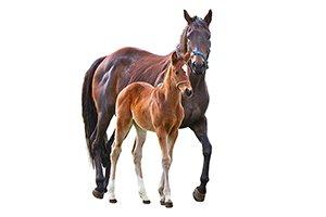 horse-stud-1